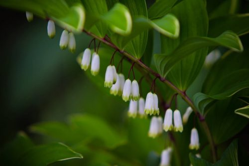Solomon's Seal in full bloom closeup for About Solomon's Seal in Cortesia Herbal Products